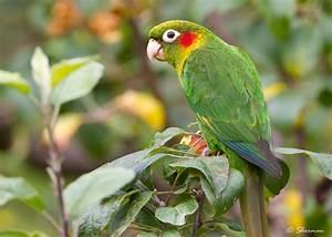 Sulphur Winged Parakeet Costa Rica San Gerardo De Dota