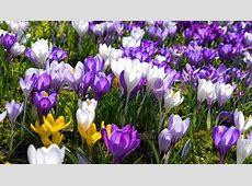 Bild 8 Blumen zum Muttertag Krokusse