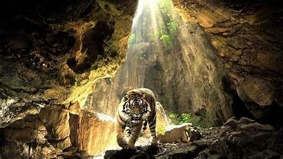 Wild Animals Wallpapers Cave Tigers Backgrounds