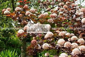 Photinia Fraseri Robusta Compacta : arbuste feuille rouge great arbuste vert et rouge with arbuste feuille rouge gallery of ~ Buech-reservation.com Haus und Dekorationen
