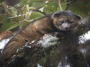 Introducing The Olinguito  The Newest Mammal Discovery