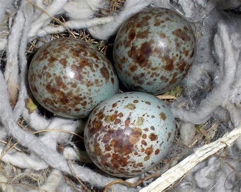 file mocking bird eggs jpg wikipedia