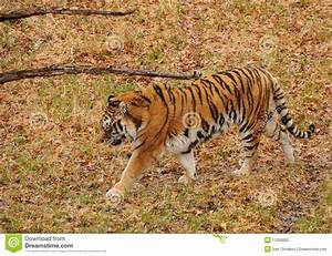Tiger In The Wild Stock Photography - Image: 17256662