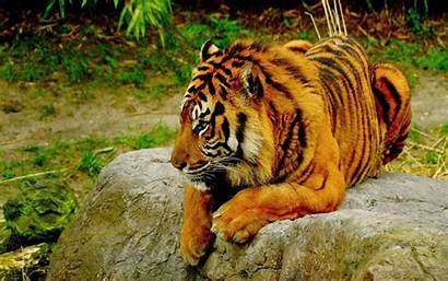 Tiger Wallpapers Bengal Loveable Animals Wild Background
