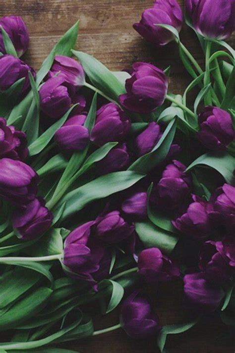 purple tulips pictures   images  facebook