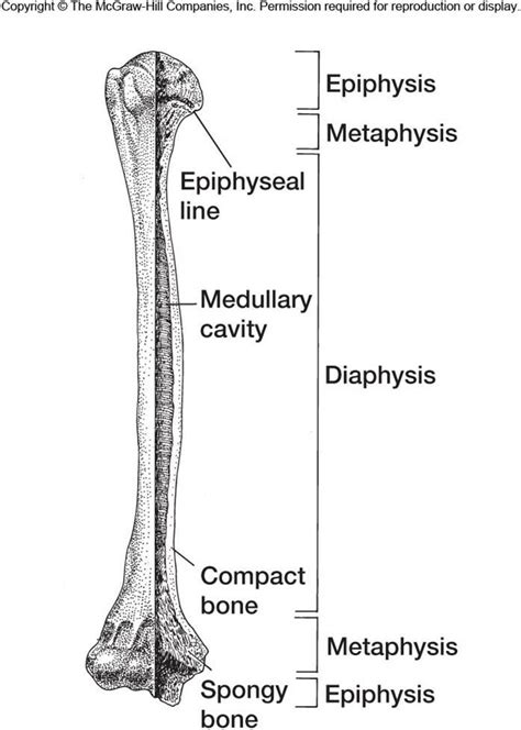 Simple Bone Diagram by Part 2 At Of Carolina Pembrok Studyblue