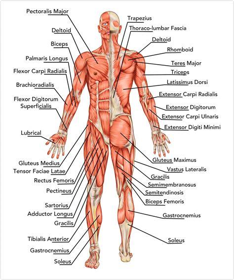 muskulatur die wichtigsten muskeln des menschen im ueberblick