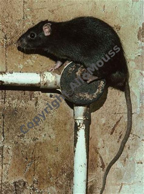 diff 233 rence entre un rat et une souris