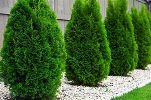 Thuja Hecke Schneiden Doch Wieviel : 13 gartenpflanzen die giftig f r kinder sind ~ Lizthompson.info Haus und Dekorationen