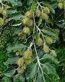 Trees Planet: Fagus sylvatica – European Beech