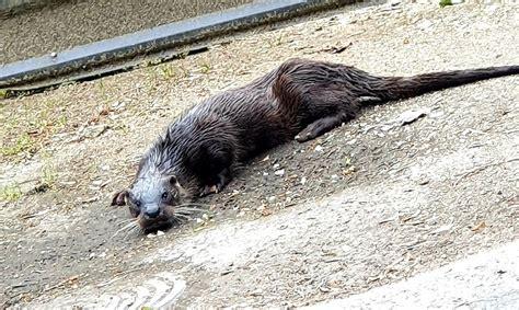 VIDEO Pa Igaunijas ielām klaiņo ūdrs - Dzīvnieki - Daba un ...