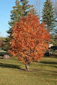 Cardinal Royal Mountain Ash (Sorbus aucuparia 'Cardinal