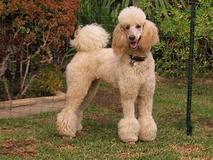 Beyond Shaved Feet: Popular Poodle Cuts – iHeartDogs com