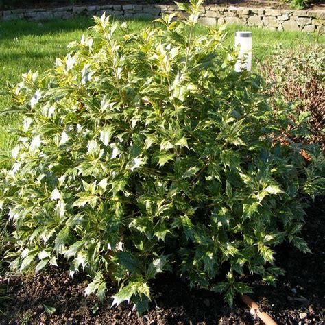 panachee en pot osmanthus heterophyllus goshiki osmanthe tricolor panach 233 en pot pots search and yahoo search