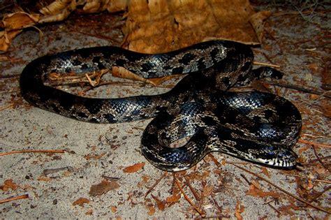 black garden snake black s garden corn snake elaphe guttata guttata