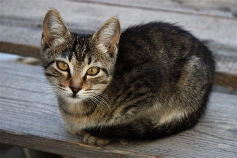 cat breeds starting   history  characteristics