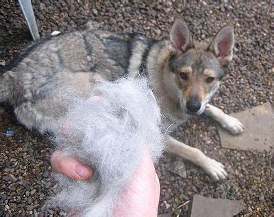hair shedding in winter shedding causes and help the pet wiki