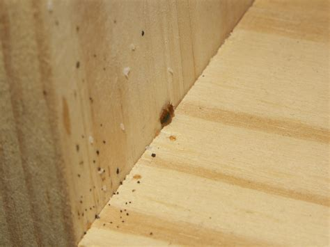bed bug nymphs eggs feces  wood cd shelf