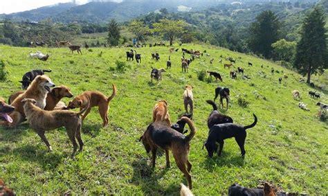 costa ricas land   strays   canine paradise