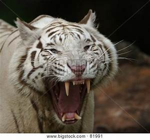 White Tiger Growling Image & Photo | Bigstock
