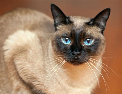 cats span life span of siamese