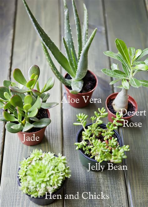 jenis tanaman sukulen lengkap beserta gambar