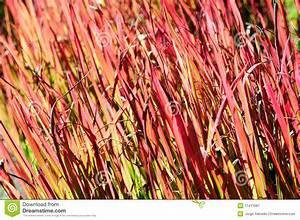 Rotes Gras Winterhart : rotes schalter gras stockbild bild 11411081 ~ Michelbontemps.com Haus und Dekorationen