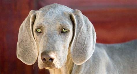 dogs  green eyes  dog breeds  green eyes