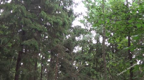 Проливной дождь в лесу Шум дождя Звук дождя Релакс