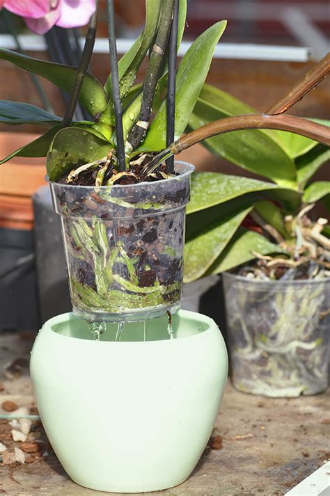 comment entretenir les orchid 233 es d 233 tente jardin