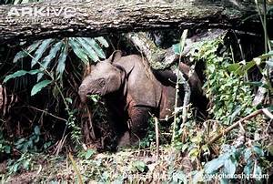 Javan rhinoceros photo - Rhinoceros sondaicus - G115100 ...