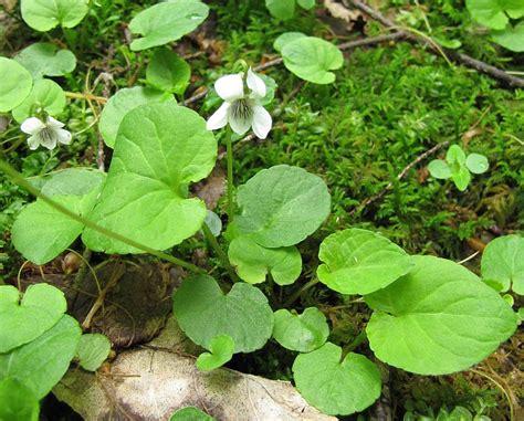 violet leaves turning white top 28 violet leaves turning white viola blanda common name violaceae environmental violet