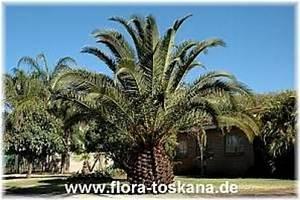 Phoenix Canariensis Pflege : phoenix canariensis kanarische dattel palme ~ Lizthompson.info Haus und Dekorationen