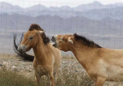 przewalski mongolia horses horse endangered south wild july biggest africa nelson birthday brief animal animals mongolian species mandela native ukraine