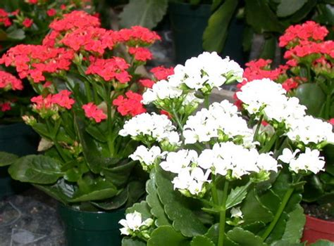 types of kalanchoe top 28 types of kalanchoe kalanchoe prolifera blooming boxes world of succulents