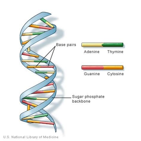 What Does Atgc Stand For In Dna by 191 Cu 225 L Es Dna