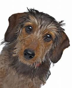 Dachshund miniature wire-haired dog breed information ...