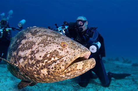 grouper goliath giant atlantic ikan kerapu fish biggest yang underwater gergasi raksasa besar ocean fakta hampir punah jewfish diver kenali
