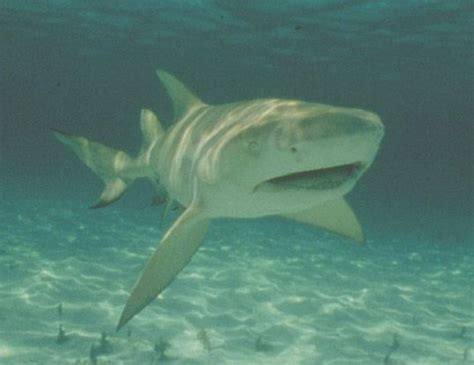 Shark Life Expectancy