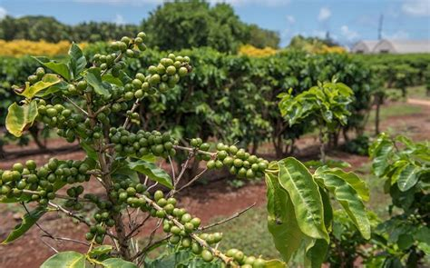 When it comes to hawaii coffee most people think immediately of kona coffee, and for a good another substantial coffee plantation is located on oahu and covers about 180 acres overlooking the. Plantation / Coffee Plantations