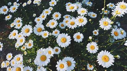 Aesthetic Daisy Daisies Flowers Wallpapers Backgrounds Yellow