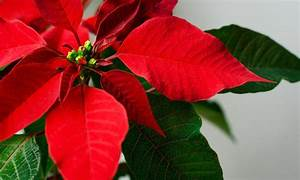 Weihnachtsstern Pflanze Kaufen : wie oft weihnachtsstern gie en das haus ~ Michelbontemps.com Haus und Dekorationen