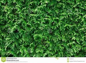 Thuja Hecke Düngen : gr ner thuja hecke hintergrund stockfoto bild 18438370 ~ Lizthompson.info Haus und Dekorationen