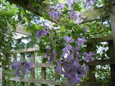 Climbing Plants For Your Pergola