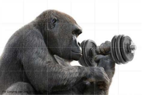 Silverback Gorilla Lifting Weights