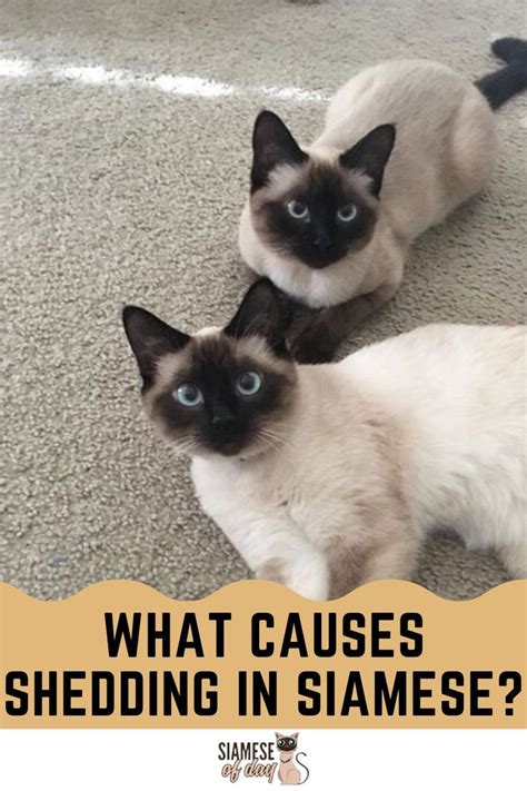 do long haired siamese cats shed