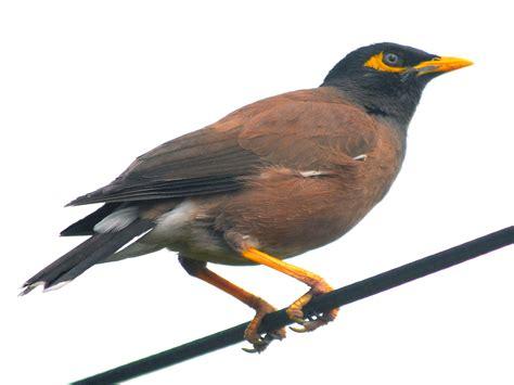 bird clipart maina pencil and in color bird clipart maina