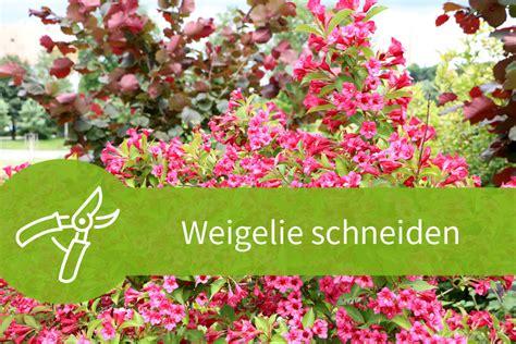 Hecke Schneiden Zeiten by Eibe Schneiden Beste Zeit Gartenarbeit Im Juni Hecke