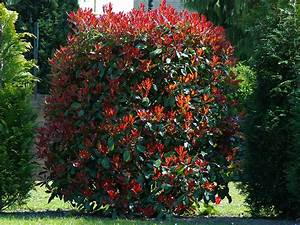 Photinia Red Robin : photinia fraserii red robin viveros escalante ~ Michelbontemps.com Haus und Dekorationen