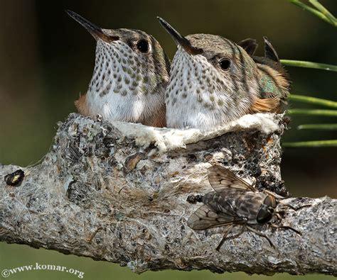 hummingbird nest baby hummingbird nest cool